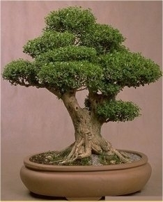 boj buxus sinensis 10 semillas bonsai tienda de semillas. Black Bedroom Furniture Sets. Home Design Ideas