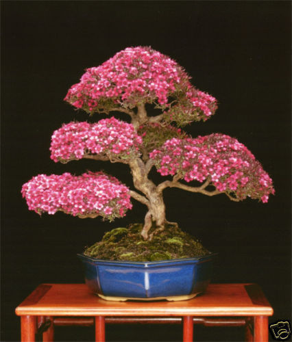 MANUCO bonsai australiano 25 semillas