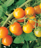 TOMATE CEREZA NARANJA orange cherry 20 Semillas