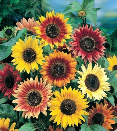 GIRASOL AUTUMN BEAUTY sunflower 70 Semillas
